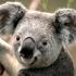 Koala crop icon